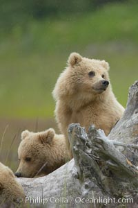 Brown bear cubs.  These cubs are one and a half years old and have yet to leave their mother.  They will be on their own and have to fend for themselves next summer, Ursus arctos, Lake Clark National Park, Alaska