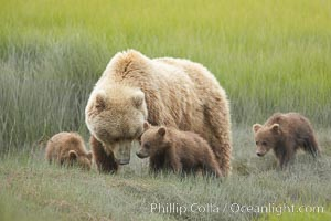 Brown bear female sow with spring cubs.  These three cubs were born earlier in the spring and will remain with their mother for almost two years, relying on her completely for their survival. Lake Clark National Park, Alaska, USA, Ursus arctos, natural history stock photograph, photo id 19181