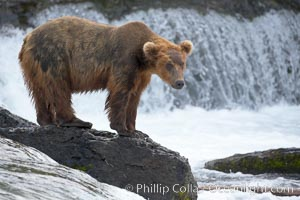 Brown bear (grizzly bear). Brooks River, Katmai National Park, Alaska, USA, Ursus arctos, natural history stock photograph, photo id 17151