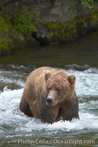 Brown bear (grizzly bear). Brooks River, Katmai National Park, Alaska, USA, Ursus arctos, natural history stock photograph, photo id 17189
