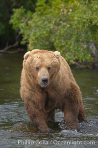 A large, old brown bear (grizzly bear) wades across Brooks River. Coastal and near-coastal brown bears in Alaska can live to 25 years of age, weigh up to 1400 lbs and stand over 9 feet tall. Brooks River, Katmai National Park, Alaska, USA, Ursus arctos, natural history stock photograph, photo id 17195