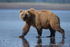 Brown bear walks on tide flats.  Grizzly bear, Ursus arctos, Lake Clark National Park, Alaska