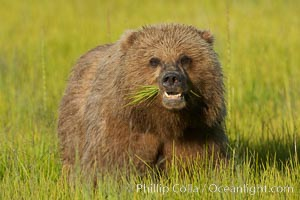 Young brown bear grazes in tall sedge grass.  Brown bears can consume 30 lbs of sedge grass daily, waiting weeks until spawning salmon fill the rivers. Lake Clark National Park, Alaska, USA, Ursus arctos, natural history stock photograph, photo id 19147
