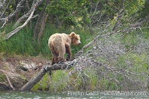 Brown bear climbing a tree overhanging the Brooks River, Ursus arctos, Katmai National Park, Alaska