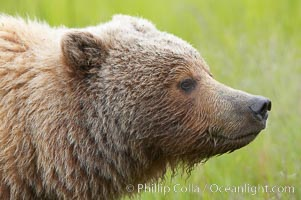 Brown bear head profile, Ursus arctos, Lake Clark National Park, Alaska