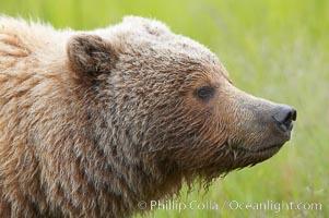 Brown bear head profile, Ursus arctos, Lake Clark National Park, Alaska