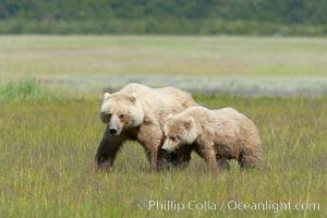 Mother and cub coastal brown bear in sedge grass meadow, Johnson River, Ursus arctos, Lake Clark National Park, Alaska
