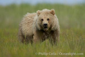 Coastal brown bear in sedge grass meadow, Ursus arctos, Lake Clark National Park, Alaska