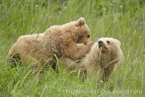 Coastal brown bear cubs playing in tall sedge grass, Ursus arctos, Lake Clark National Park, Alaska