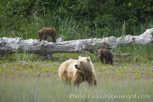 Brown bear female mother sow is on alert for the approach of other bears which may pose a threat to her three small spring cubs, Ursus arctos, Lake Clark National Park, Alaska