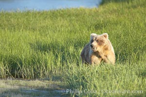 Coastal brown bear in meadow.  The tall sedge grasses in this coastal meadow are a food source for brown bears, who may eat 30 lbs of it each day during summer while waiting for their preferred food, salmon, to arrive in the nearby rivers. Lake Clark National Park, Alaska, USA, Ursus arctos, natural history stock photograph, photo id 19235