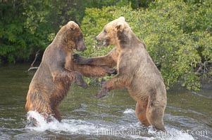 Two young brown bears mock fighting. Brooks River, Katmai National Park, Alaska, USA, Ursus arctos, natural history stock photograph, photo id 17035