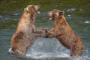 Two mature brown bears fight to establish hierarchy and fishing rights. Brooks River, Katmai National Park, Alaska, USA, Ursus arctos, natural history stock photograph, photo id 17036