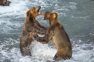 Two young brown bears mock fighting, Ursus arctos, Brooks River, Katmai National Park, Alaska