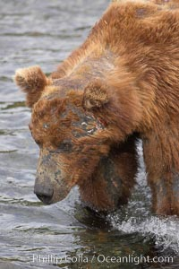 Brown bear bearing scars and wounds about its head from past fighting with other bears to establish territory and fishing rights. Brooks River. Brooks River, Katmai National Park, Alaska, USA, Ursus arctos, natural history stock photograph, photo id 17129
