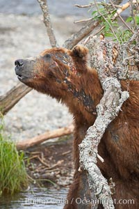 Brown bear scratching its wounds on a branch. It bears scars and wounds about its head from past fighting with other bears to establish territory and fishing rights. Brooks River, Ursus arctos, Katmai National Park, Alaska