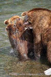 Two mature brown bears fight to establish hierarchy and fishing rights, Ursus arctos, Brooks River, Katmai National Park, Alaska