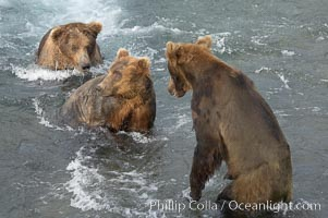 Brown bears fight to establish hierarchy and fishing rights, Ursus arctos, Brooks River, Katmai National Park, Alaska