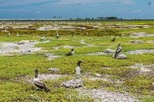 Brown boobies and Nazca boobies, Clipperton Island. France, Sula leucogaster, natural history stock photograph, photo id 33100