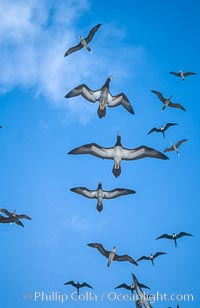 Brown boobies in flight at Rose Atoll. which hosts large numbers of seabirds on the small island, Rose Atoll National Wildlife Sanctuary