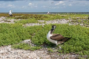 Brown booby, Clipperton island. Clipperton Island, France, Sula leucogaster, natural history stock photograph, photo id 33078
