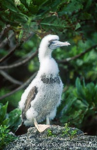 Image 00886, Brown booby, Rose Atoll National Wildlife Refuge, Sula leucogaster. Rose Atoll National Wildlife Sanctuary, American Samoa, USA, Phillip Colla, all rights reserved worldwide.   Keywords: american samoa:atoll:brown boobie:island:pacific:rose atoll:rose atoll marine national monument:rose atoll national wildlife refuge:rose atoll national wildlife sanctuary:samoa:sula leucogaster.