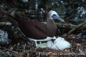 Brown booby, adult and chick at nest, Sula leucogaster, Cocos Island