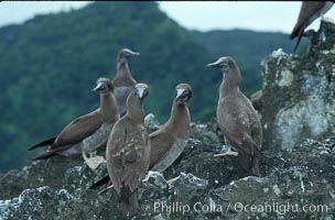 Image 05754, Brown boobies. Cocos Island, Costa Rica, Sula leucogaster, Phillip Colla, all rights reserved worldwide. Keywords: above water, animal, animalia, aves, bird, boobie, booby, brown boobie, brown booby, chordata, cocos island, cocos island national park, costa rica, leucogaster, oceans, pacific, pelecaniformes, sula, sula leucogaster, sulidae, vertebrata, vertebrate, world heritage sites.