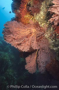 Brown gorgonians, Catalina, Muricea fruticosa, Catalina Island