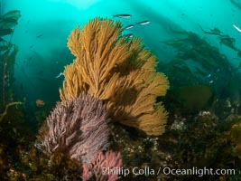 Brown gorgonian and California golden gorgonian on underwater rocky reef below kelp forest, San Clemente Island. Gorgonians are filter-feeding temperate colonial species that lives on the rocky bottom at depths between 50 to 200 feet deep. Each individual polyp is a distinct animal, together they secrete calcium that forms the structure of the colony. Gorgonians are oriented at right angles to prevailing water currents to capture plankton drifting by, Muricea californica, Muricea fruticosa