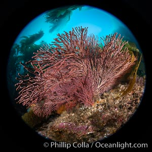 Brown gorgonian,  Muricea fruticosa, Catalina Island, California