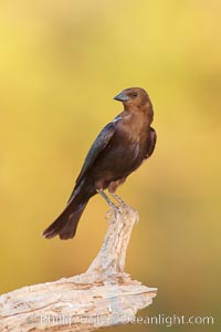 Brown-headed cowbird, male. Amado, Arizona, USA, Molothrus ater, natural history stock photograph, photo id 22916