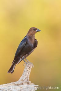 Brown-headed cowbird, male. Amado, Arizona, USA, Molothrus ater, natural history stock photograph, photo id 23019