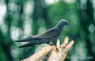 Brown noddy at Rose Atoll NWRF, Rose Atoll National Wildlife Sanctuary