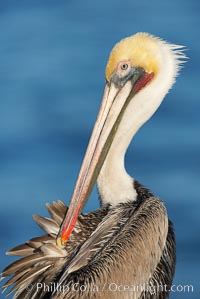 A brown pelican preening, reaching with its beak to the uropygial gland (preen gland) near the base of its tail.  Preen oil from the uropygial gland is spread by the pelican's beak and back of its head to all other feathers on the pelican, helping to keep them water resistant and dry. Adult winter non-breeding plumage showing white hindneck and red gular throat pouch. La Jolla, California, USA, Pelecanus occidentalis, Pelecanus occidentalis californicus, natural history stock photograph, photo id 18045