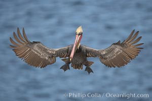 California brown pelican spreads its wings wide as it slows before landing on seacliffs. La Jolla, California, USA, Pelecanus occidentalis, Pelecanus occidentalis californicus, natural history stock photograph, photo id 18228