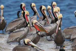 Brown pelicans rest and preen on seacliffs above the ocean.   In winter months, breeding adults assume a dramatic plumage with brown neck, yellow and white head and bright red-orange gular throat pouch, Pelecanus occidentalis, Pelecanus occidentalis californicus, La Jolla, California