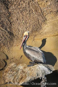 Brown pelican perched on sandstone seacliffs. California race with winter mating plumage, Pelecanus occidentalis, Pelecanus occidentalis californicus, La Jolla