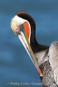 Brown pelican preening, Pelecanus occidentalis, Pelecanus occidentalis californicus, La Jolla, California
