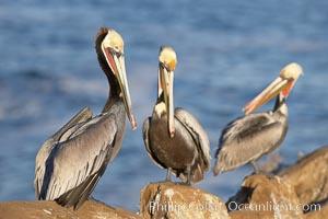 Brown pelicans preening. La Jolla, California, USA, Pelecanus occidentalis, Pelecanus occidentalis californicus, natural history stock photograph, photo id 20957