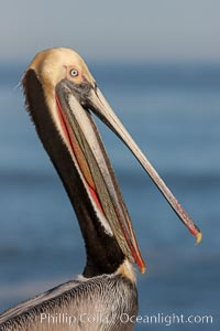 Image 23649, Portrait of California brown pelican, with the characteristic winter mating plumage shown: red throat, yellow head and dark brown hindneck. La Jolla, California, USA, Pelecanus occidentalis, Pelecanus occidentalis californicus