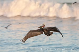 California pelican in flight, soaring over the ocean.  The wingspan of this large ocean-going seabird can reach 7' from wing tip to wing tip. La Jolla, California, USA, Pelecanus occidentalis, Pelecanus occidentalis californicus, natural history stock photograph, photo id 23652