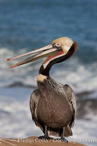 Portrait of California brown pelican, with the characteristic winter mating plumage shown: red throat, yellow head and dark brown hindneck. La Jolla, California, USA, Pelecanus occidentalis, Pelecanus occidentalis californicus, natural history stock photograph, photo id 23662