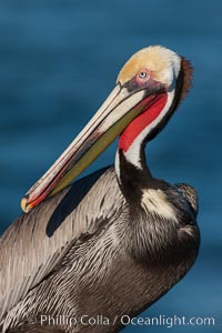 California brown pelican, showing characteristic winter plumage including red/olive throat, brown hindneck, yellow and white head colors. La Jolla, California, USA, Pelecanus occidentalis, Pelecanus occidentalis californicus, natural history stock photograph, photo id 26464