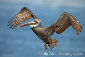 Brown pelican in flight.  The wingspan of the brown pelican is over 7 feet wide. The California race of the brown pelican holds endangered species status.  In winter months, breeding adults assume a dramatic plumage. La Jolla, California, USA, Pelecanus occidentalis, Pelecanus occidentalis californicus, natural history stock photograph, photo id 22142