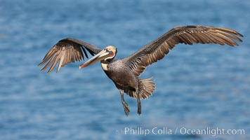 Brown pelican in flight.  The wingspan of the brown pelican is over 7 feet wide. The California race of the brown pelican holds endangered species status.  In winter months, breeding adults assume a dramatic plumage. La Jolla, California, USA, Pelecanus occidentalis, Pelecanus occidentalis californicus, natural history stock photograph, photo id 23632