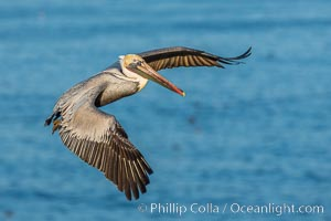 Brown pelican in flight. The wingspan of the brown pelican is over 7 feet wide. The California race of the brown pelican holds endangered species status. In winter months, breeding adults assume a dramatic plumage. La Jolla, California, USA, Pelecanus occidentalis, Pelecanus occidentalis californicus, natural history stock photograph, photo id 28328