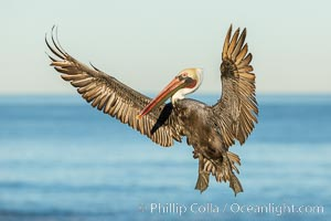 Brown pelican in flight. The wingspan of the brown pelican is over 7 feet wide. The California race of the brown pelican holds endangered species status. In winter months, breeding adults assume a dramatic plumage, Pelecanus occidentalis, Pelecanus occidentalis californicus, La Jolla