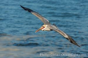 Brown pelican in flight, over the ocean. La Jolla, California, USA, Pelecanus occidentalis, Pelecanus occidentalis californicus, natural history stock photograph, photo id 30170