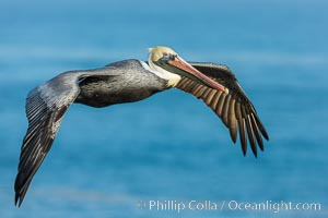 Brown pelican in flight, over the ocean. La Jolla, California, USA, Pelecanus occidentalis, Pelecanus occidentalis californicus, natural history stock photograph, photo id 30172
